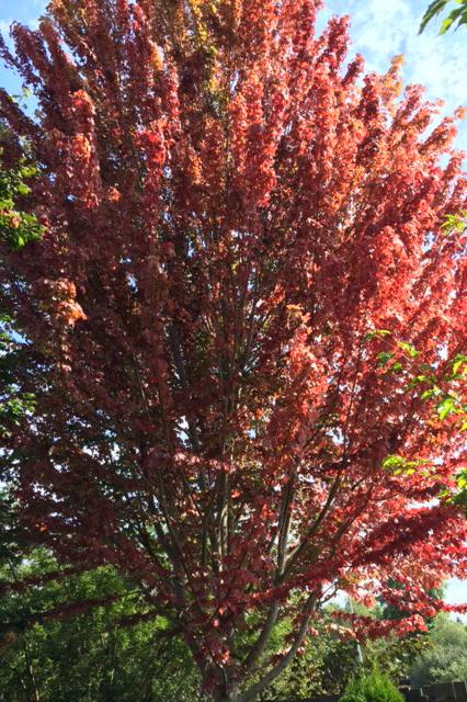 Maple grow site