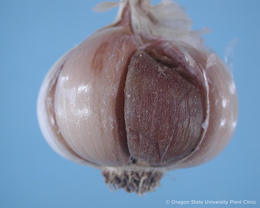 Garlic fusarium