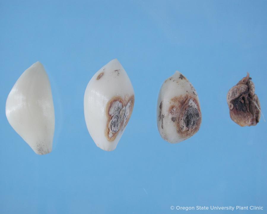 Garlic blue mold