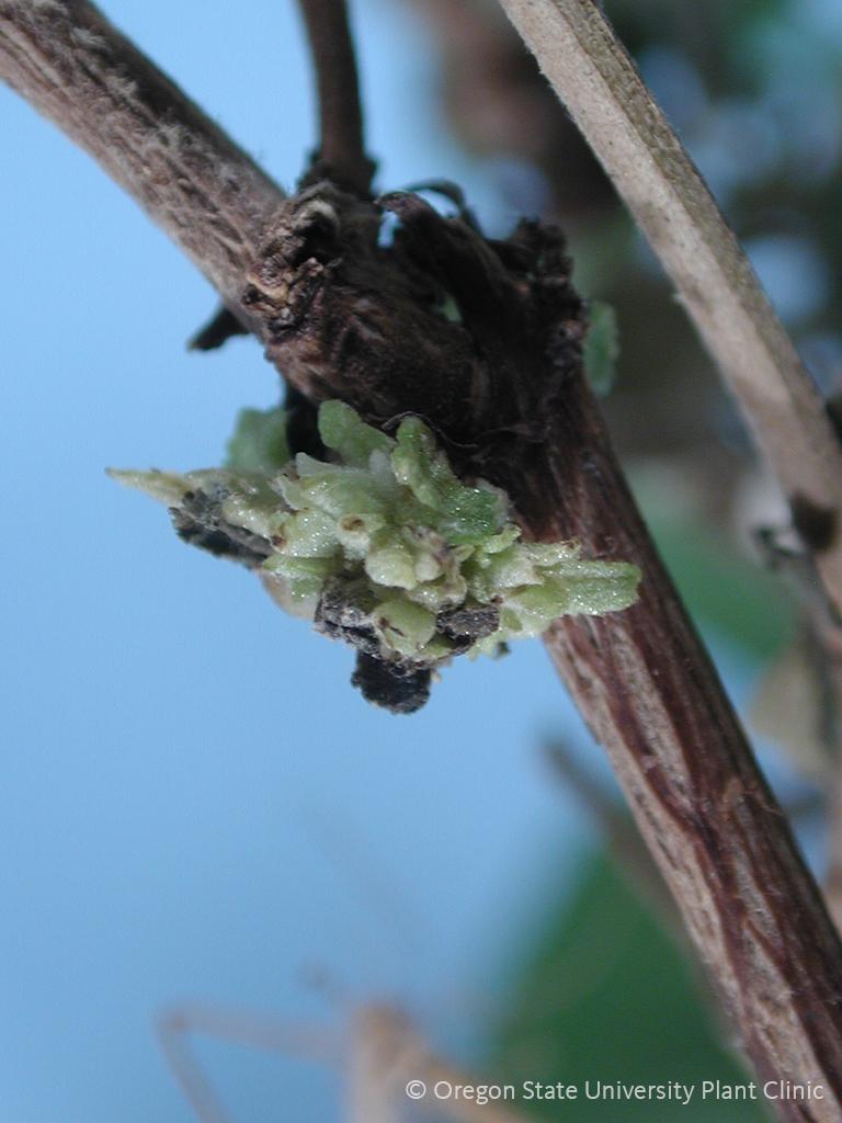 Leafy gall on a Buddleia stem.