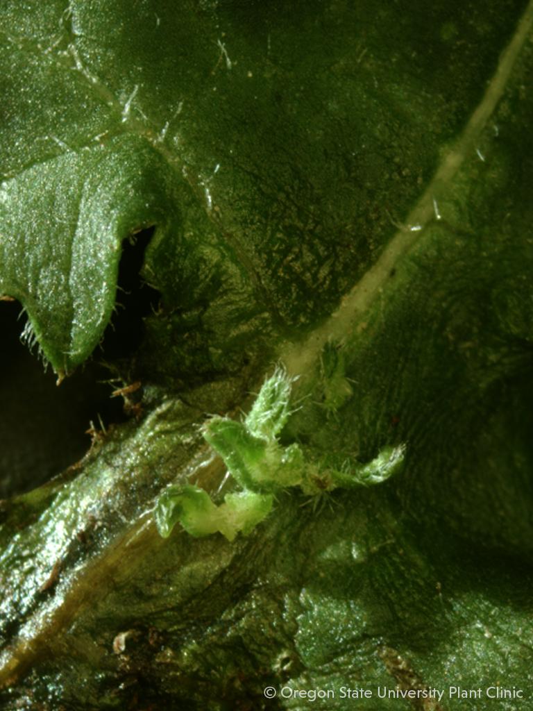 Aruncus leaf with small leafy gall