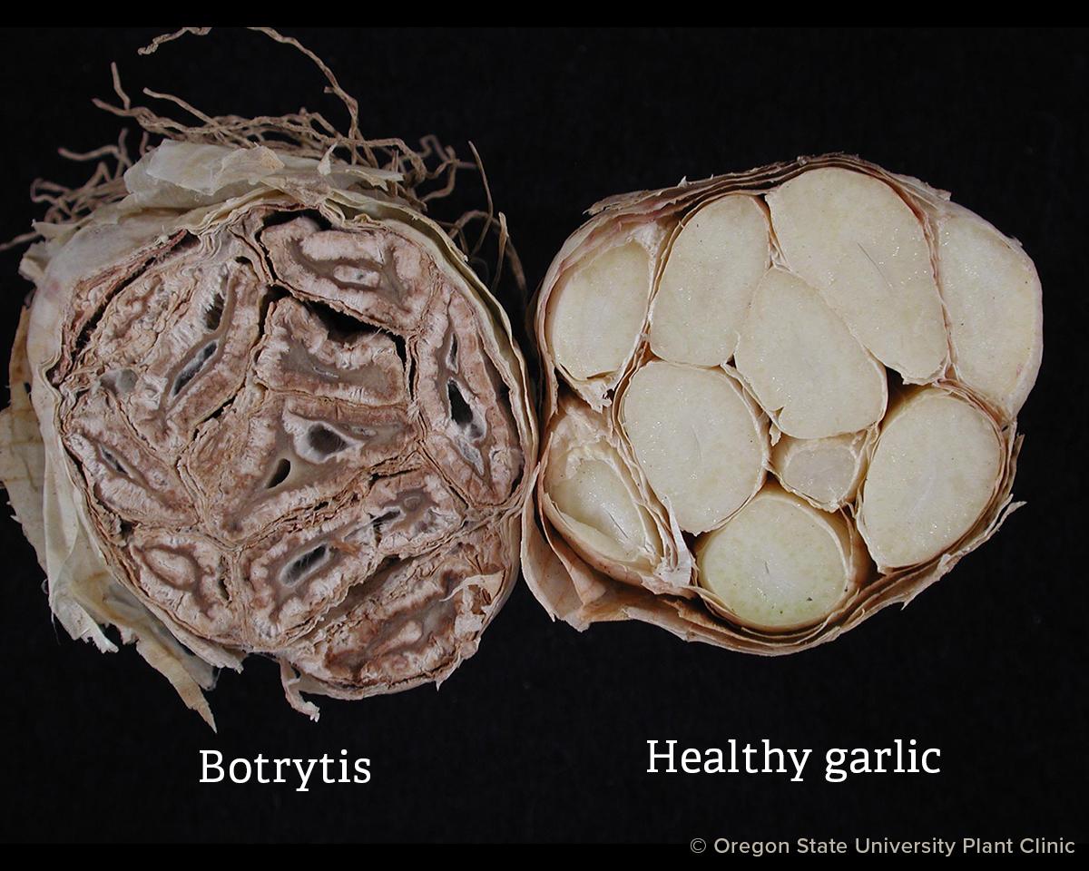 Botrytis vs healthy garlic