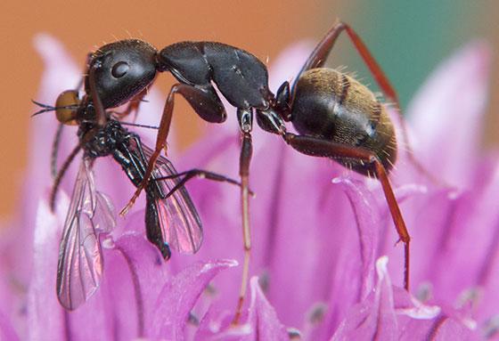 Camponotus modoc (Stephen Hart)