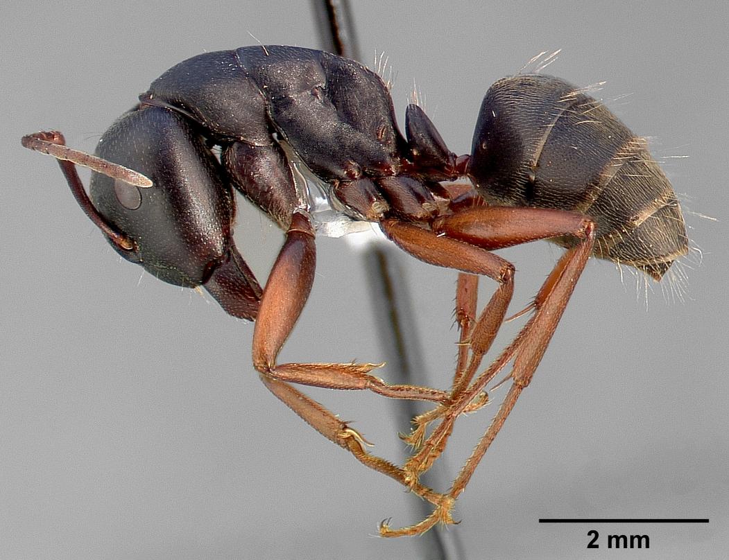 Camponotus modoc