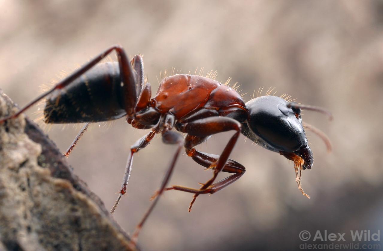 Camponotus vicinus (by Alex Wild)