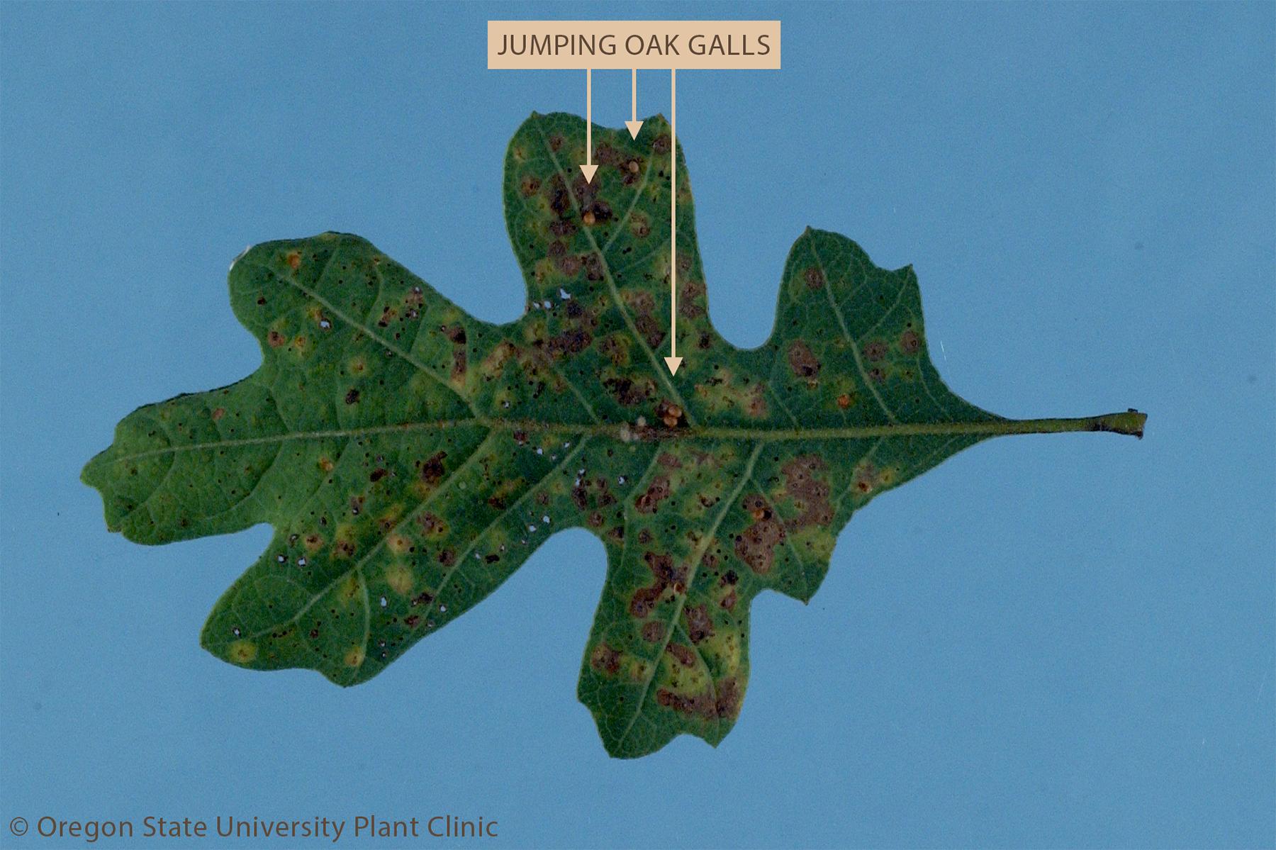 Jumping oak galls on leaf