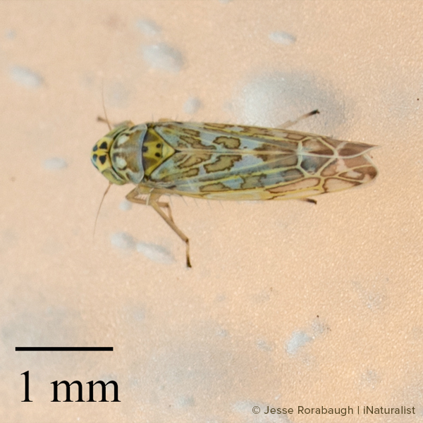 Ligurian leafhopper