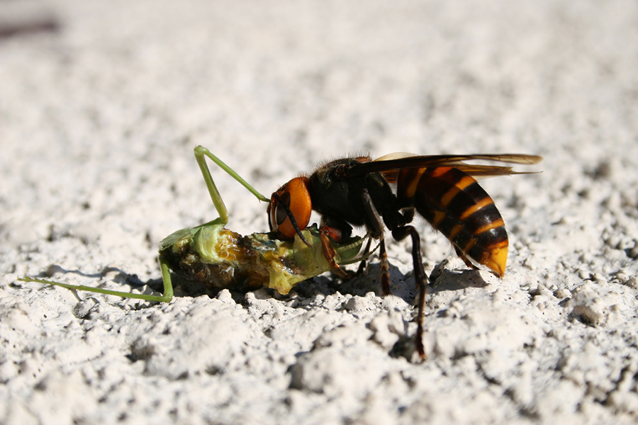 Asian giant hornet eating a large insect