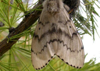 Asian gypsy moth adult female