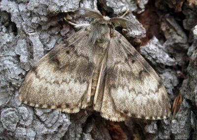 Asian gypsy moth adult male