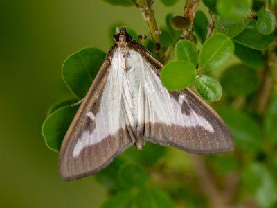 Box wood moth