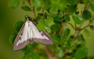 Box wood moth