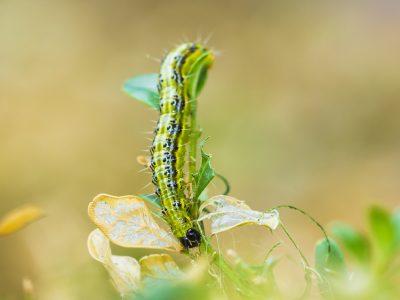 Box wood moth caterpillar
