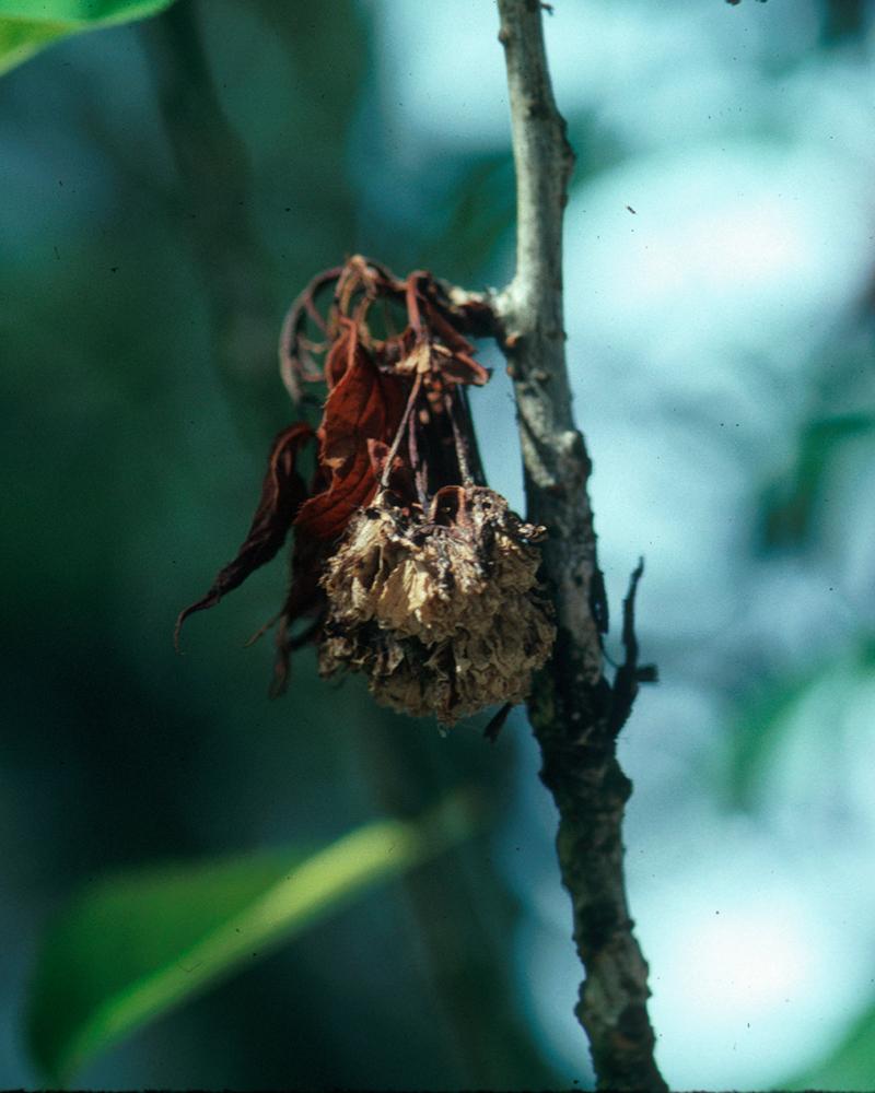 cherry brown rot