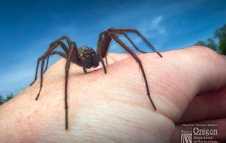 Female giant house spider