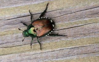 Japanese beetle adult. © Laura Wolf