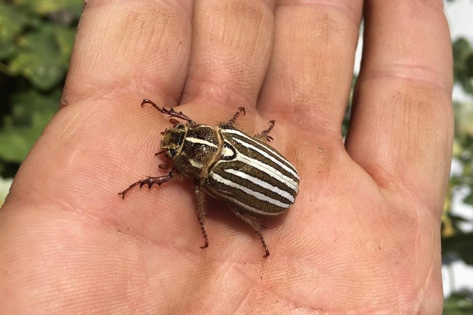 tenlined June beetle on hand