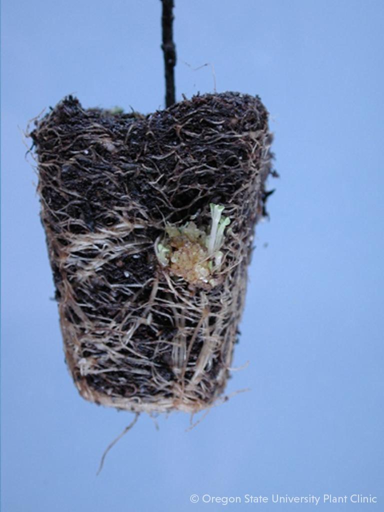 A hidden leafy gall on a Monarda plug.