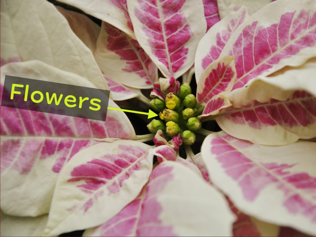 Pink and white poinsettia