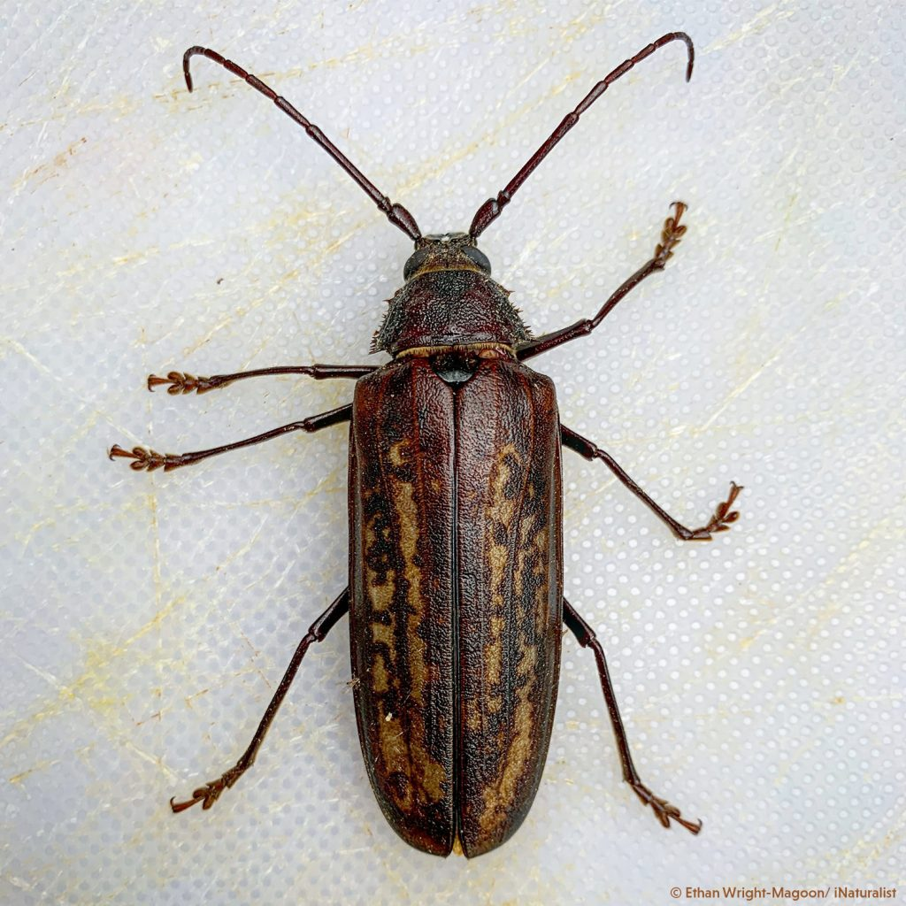 Ponderous borer beetle