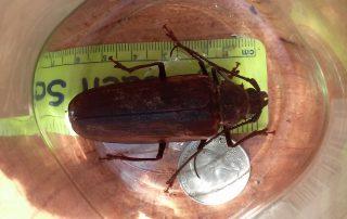 prionus beetle