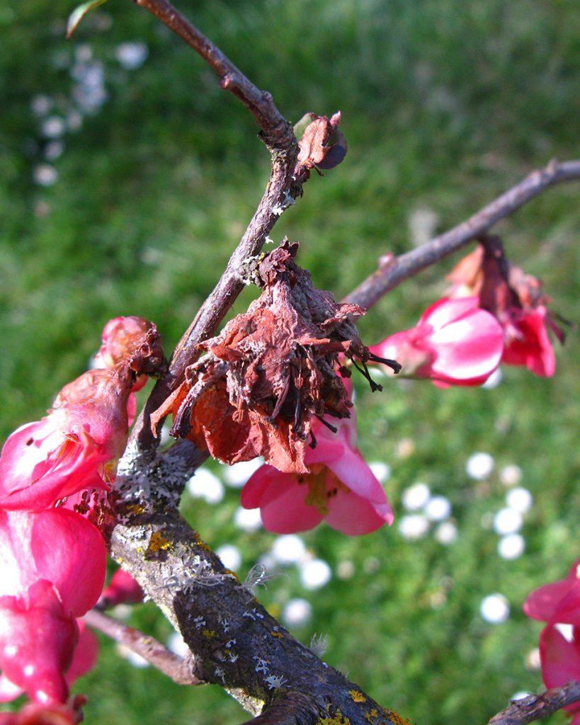 Quince brown rot