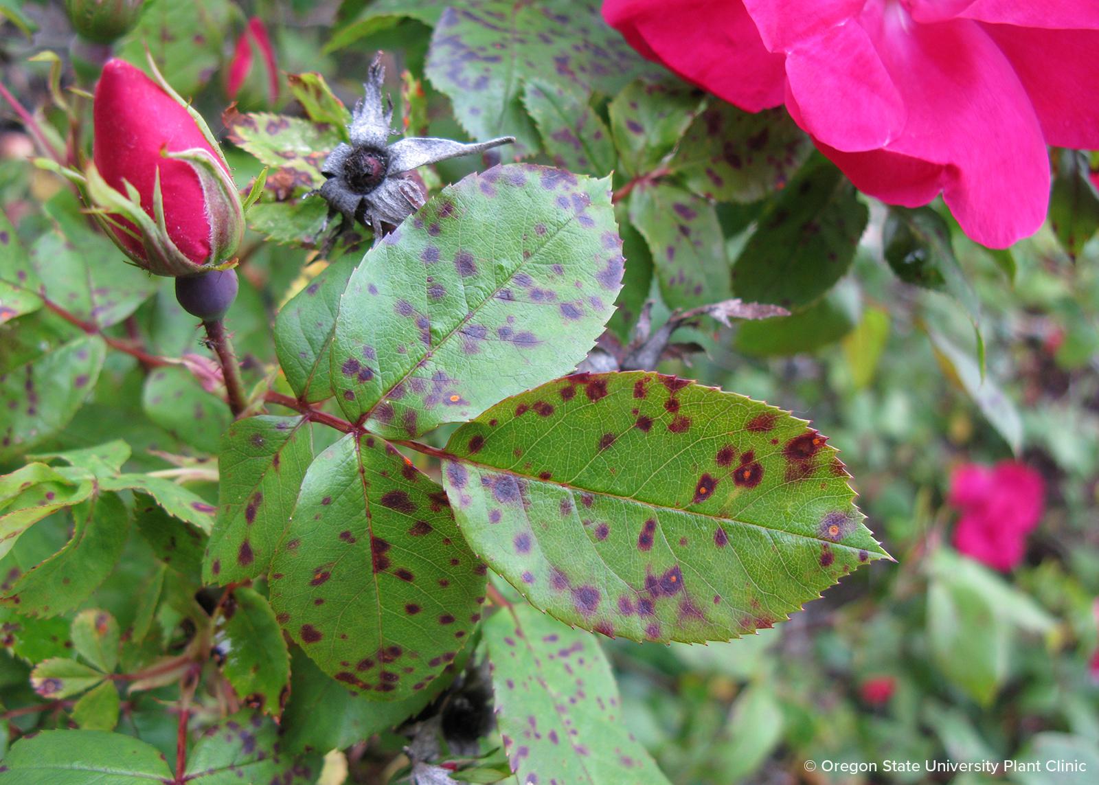 Rose rust