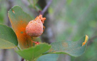 serviceberry rust