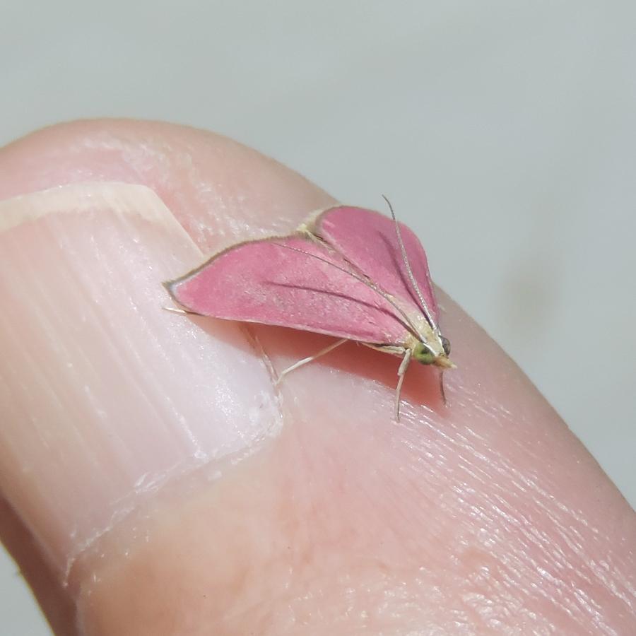 Southern pink moth by Cheryl Harleston (iNaturalist)