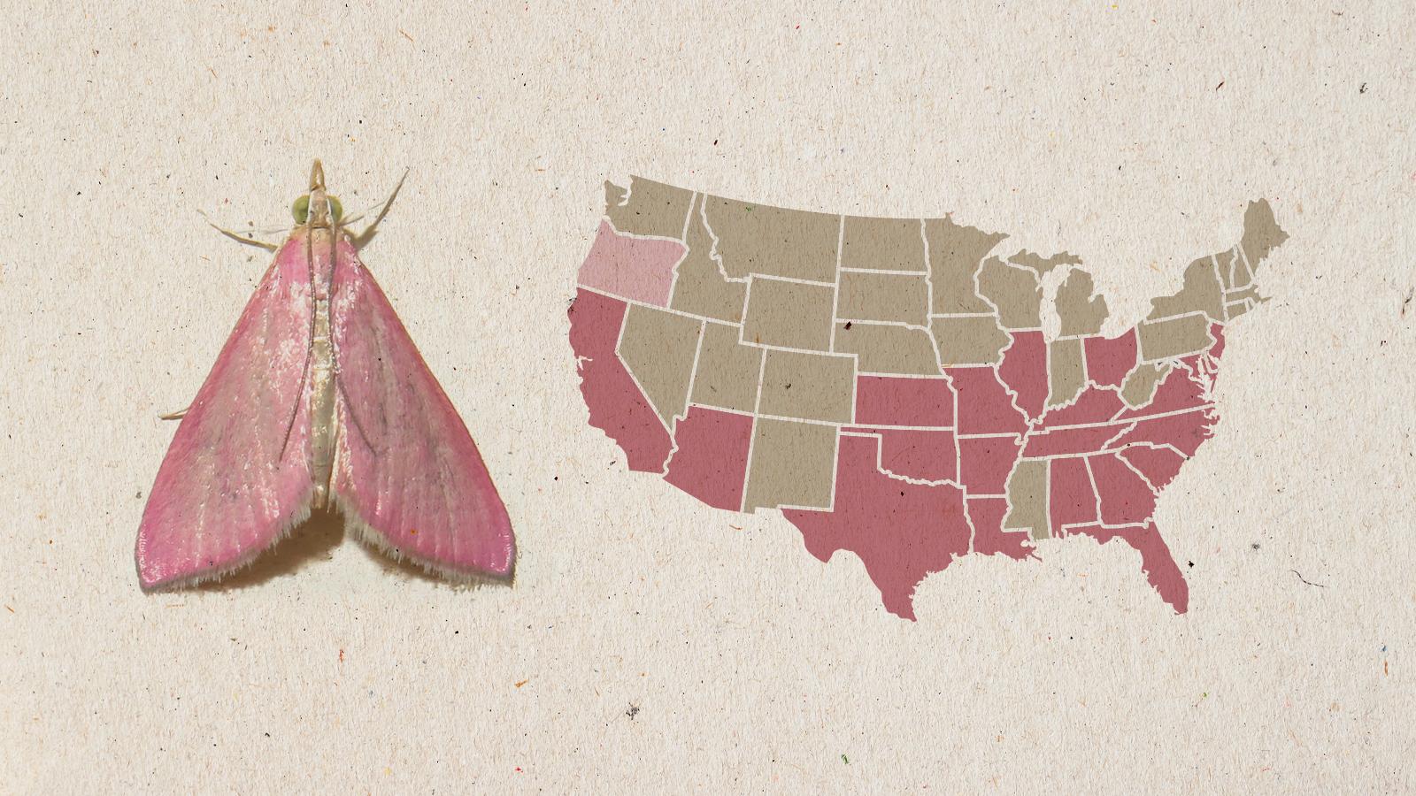 southern pink moth range map