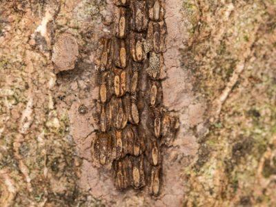Spotted lanternfly egg cluster (© USDA)