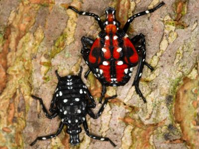 Spotted lanternfly early and late nymph (© USDA)