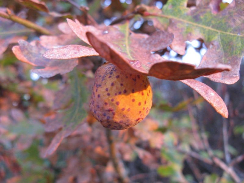 A mature spotted oak gall on a leaf.