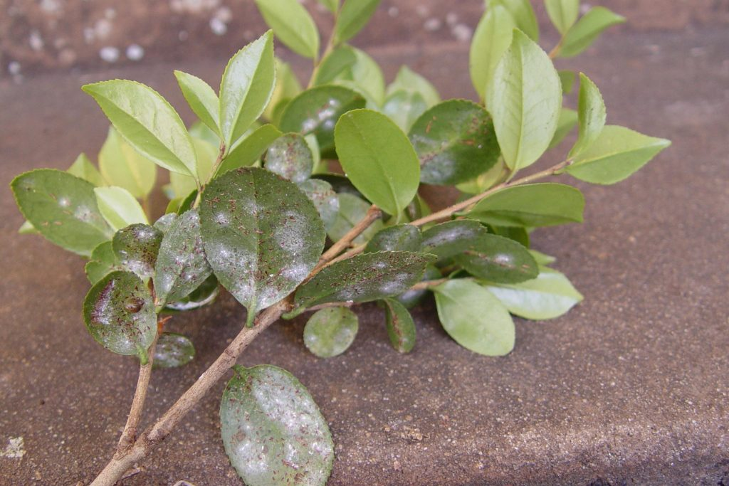 Tea scale damage on leaves