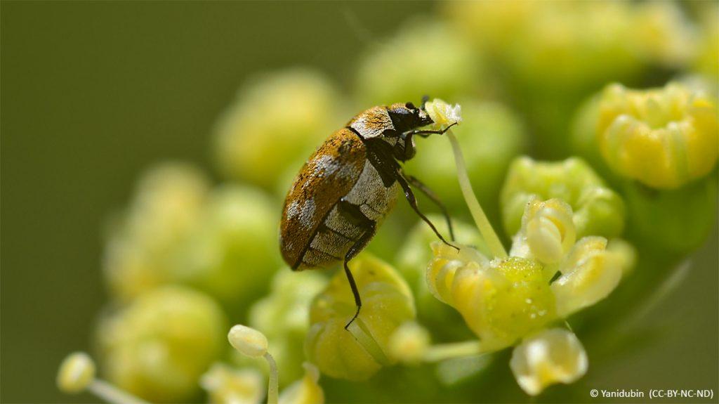 Varied carpet beetle on flower