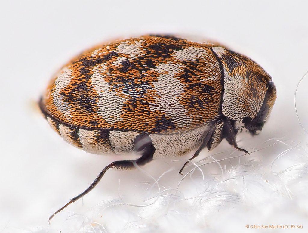 Varied carpet beetle on carpet