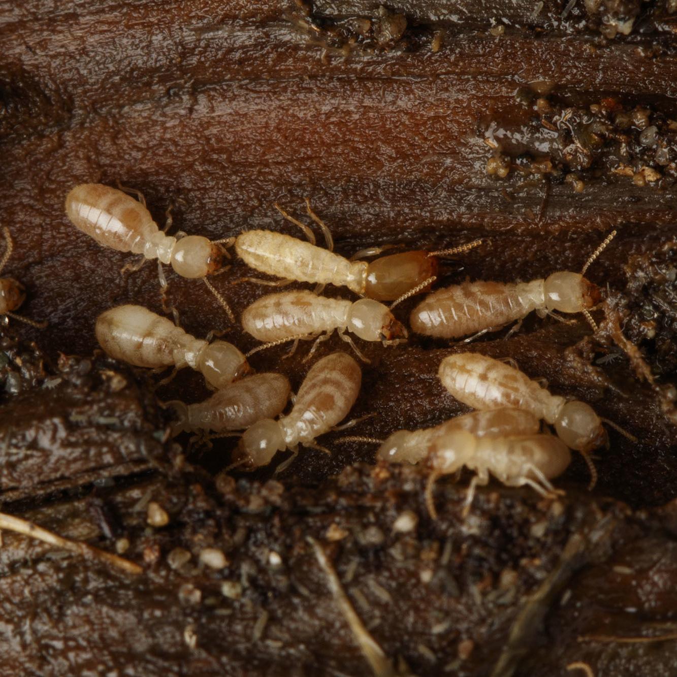 westren subterranean termites